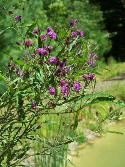 pondplants-3