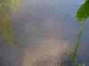 pondplants-2