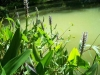 pondplants-5