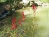 pondplants-6