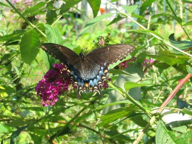 butterflyswallowtail