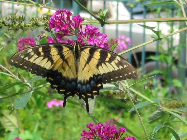 butterflytigerswallowtail