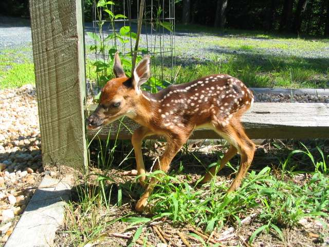 fawn_sfirststeps