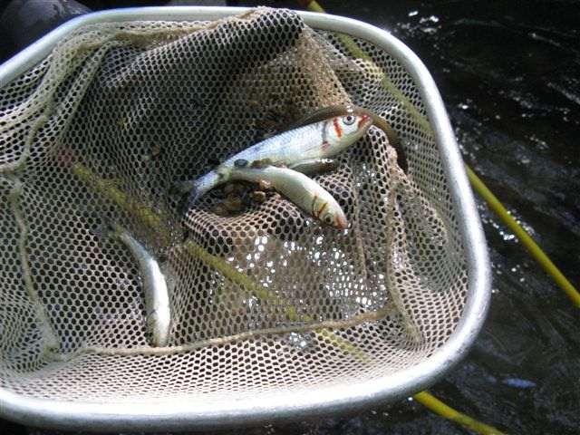 fish-laurelcreek-1