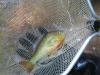fish-sunfish